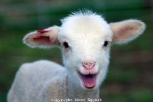 ASA-115A-New-lamb-smiling
