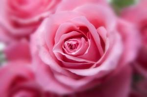 cropped-roses-194110_1280-1.jpg