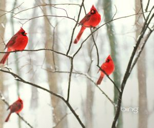 bing-male-northern-cardinals-in-the-snow
