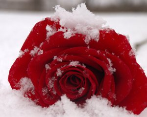 snow_rose_by_micsmitty-d4rirkl