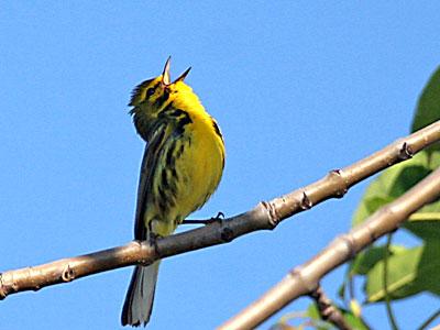 EA20120530-bird-singing