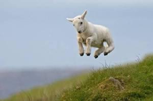 skipping-lamb