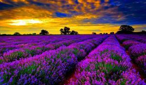 lavender-fieldsfrance-4