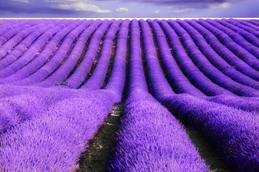 Lavender-Purple-Fields